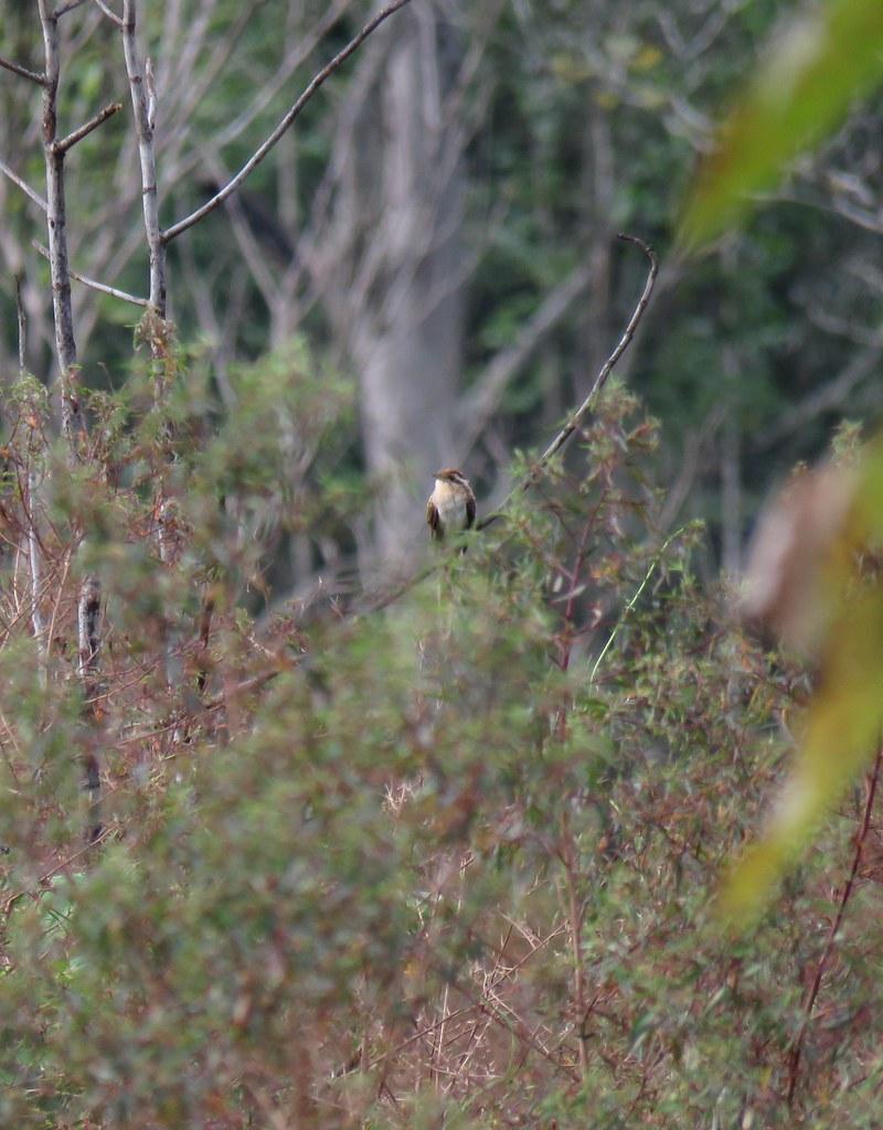 Panama 2019 Darién - Striped Cuckoo, kaluunakäki