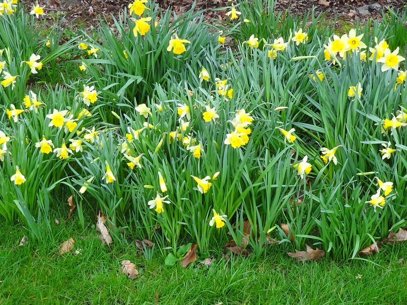 Train set daffodils in bloom