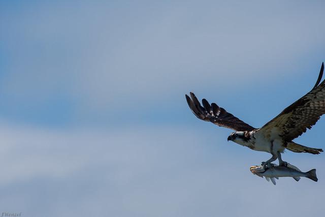 Osprey - Trout -3