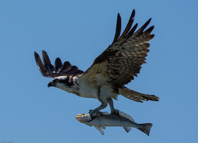 Osprey - Trout -4