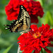 IMG_0149   Giant Swallowtail Butterfly, Canada