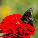 IMG_1350  Black  Swallowtail  Butterfly, Canada