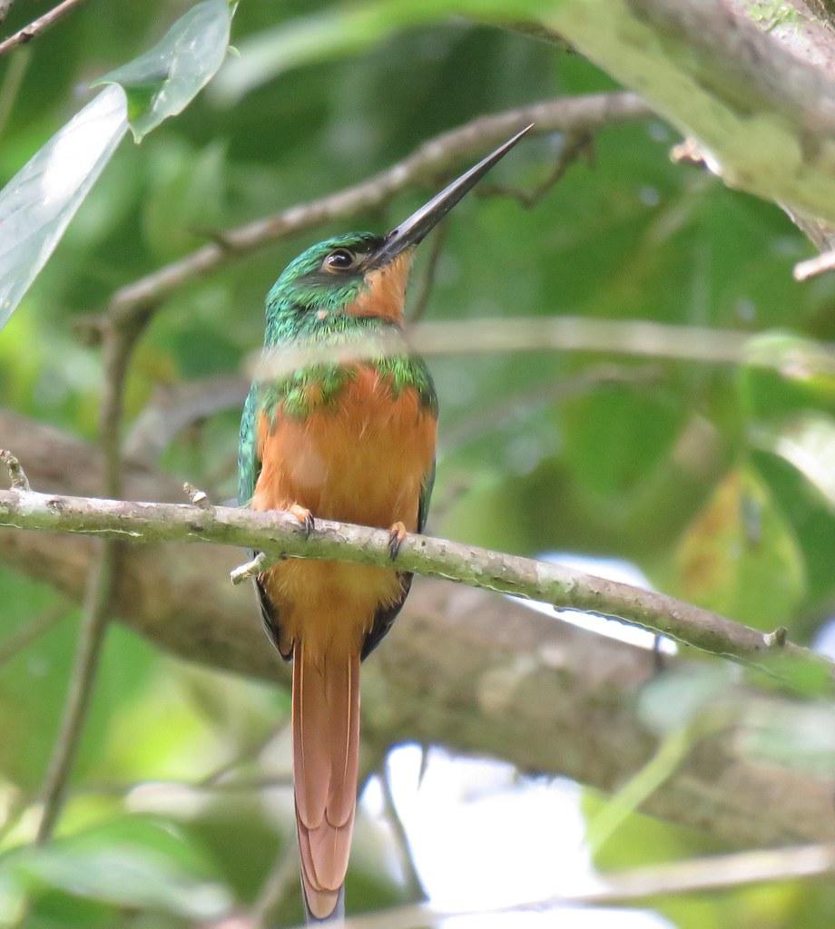 Panama 2019 Darién - Rufous-tailed Jacamar, ruostepyrstöjakamari