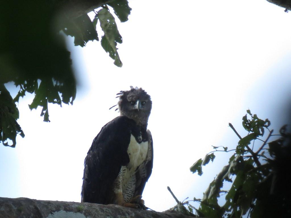 Panama 2019 Darién - Harpy Eagle, harpyija (vilkkuluomet kiinni)