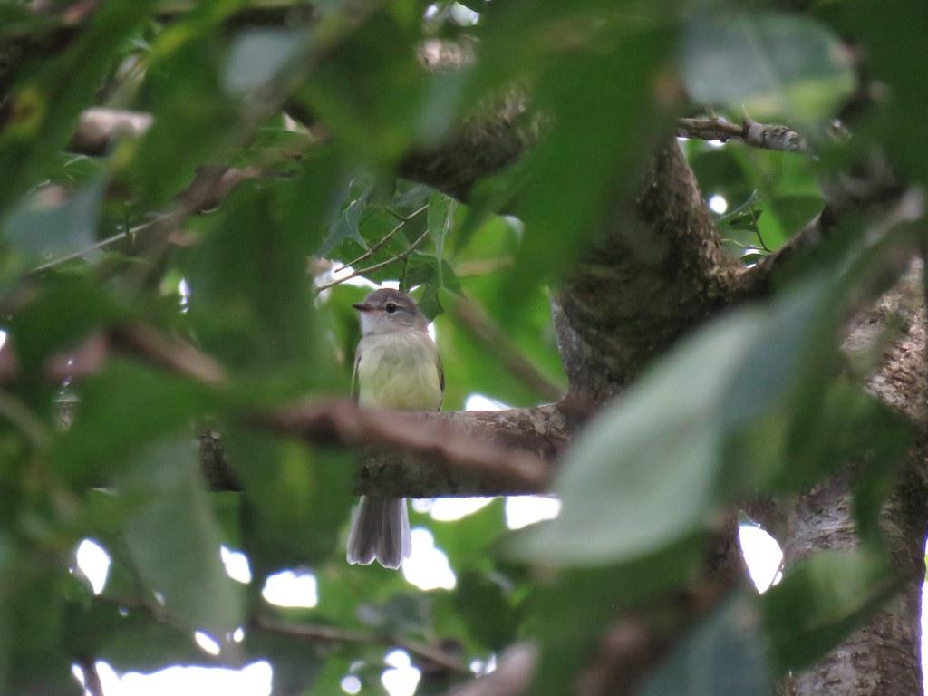Panama 2019 Darién - Forest Elaenia