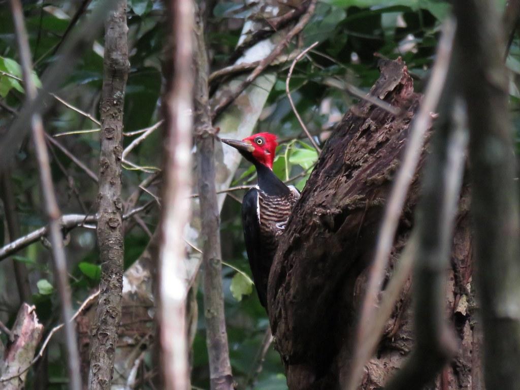 Panama 2019 Darién - Crimson-crested Woodpecker, tulikärki