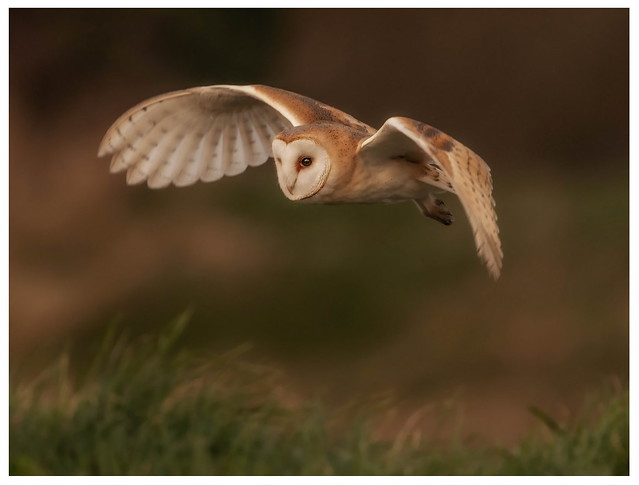 Barn owl coping well in the windy weather