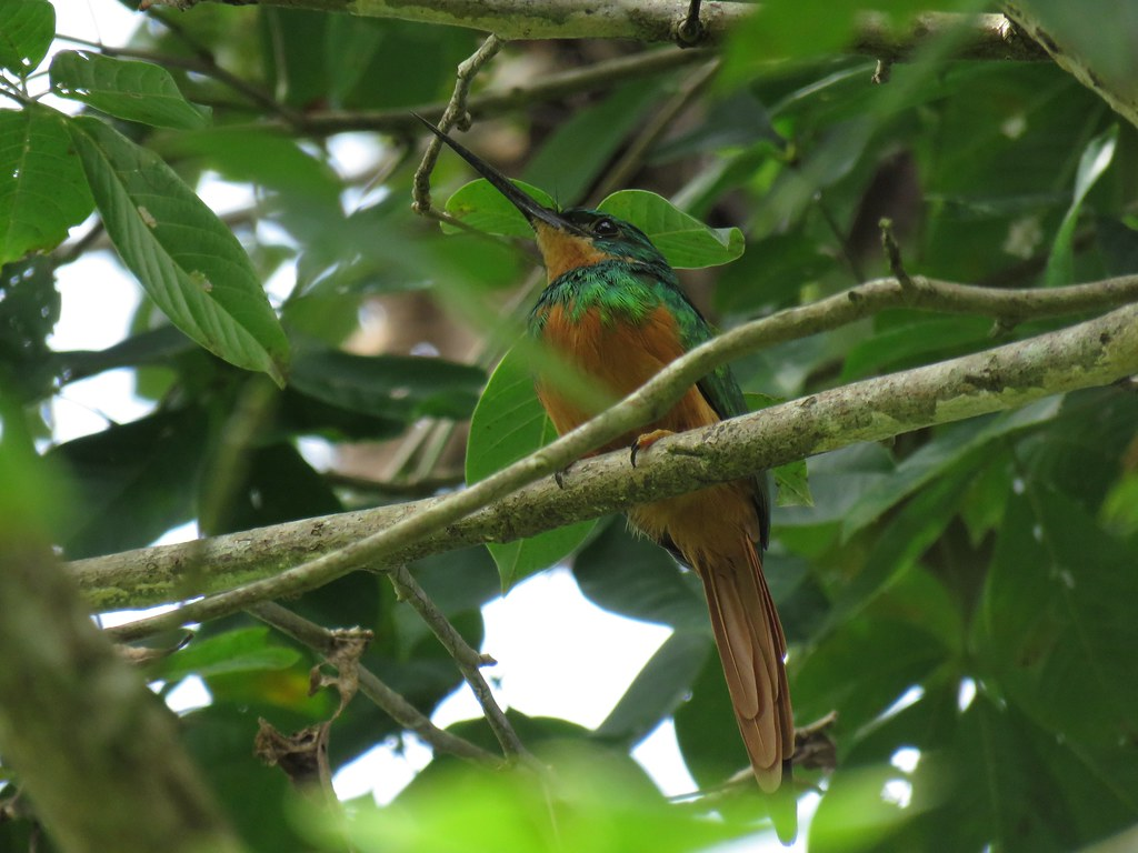 Panama 2019 Darién - Rufous-tailed Jacamar (female), ruostepyrstöjakamari (naaras)