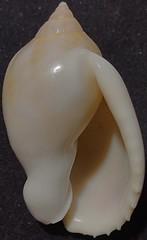 Casmaria Erinaceus F