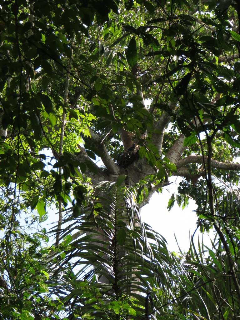 Panama 2019 Darién - Harpy Eagle nesting tree, harpyijan pesäpuu