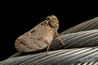 Planthopper (Issidae) - DSC_3871
