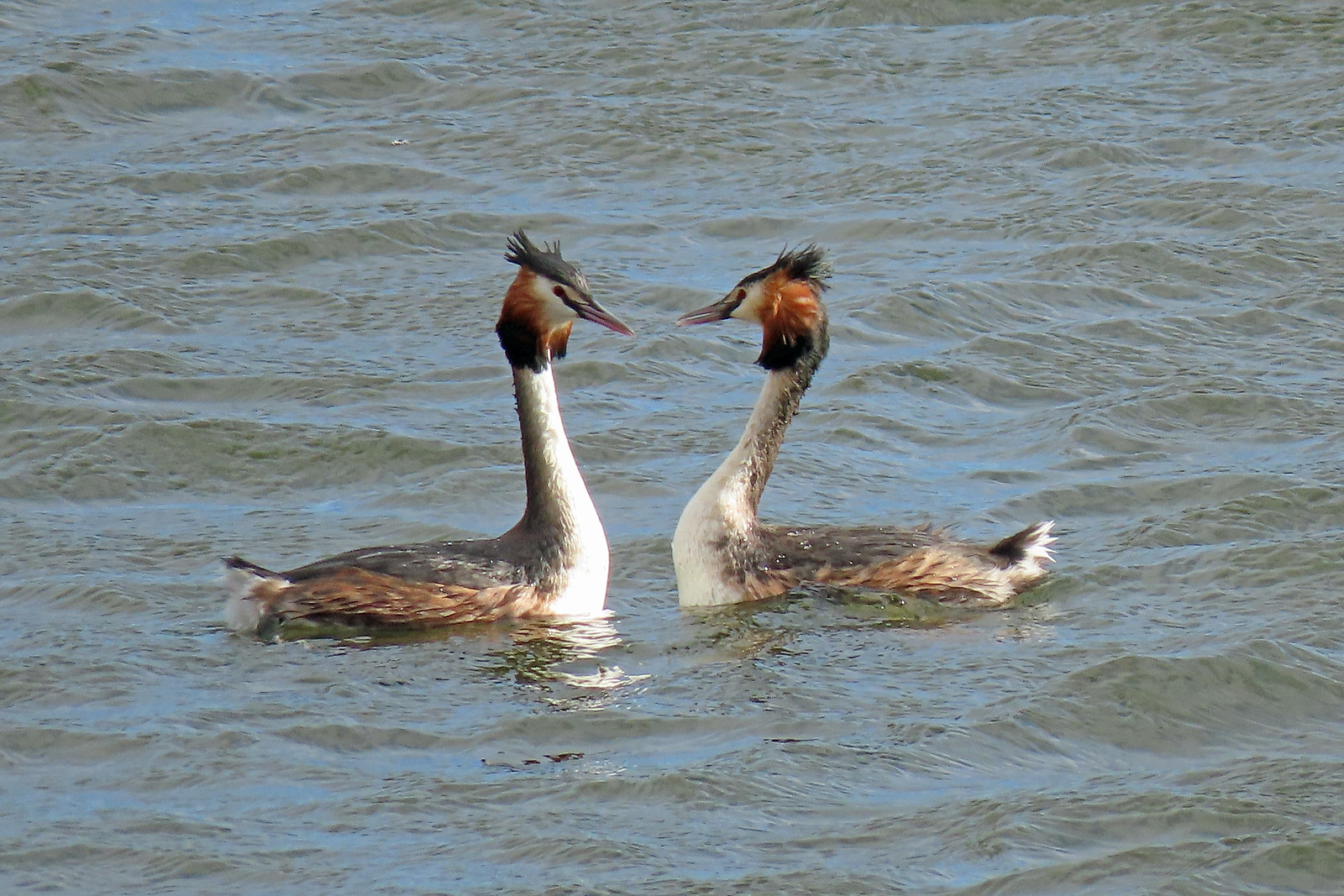 Great Crested Grebe - Podiceps cristatus