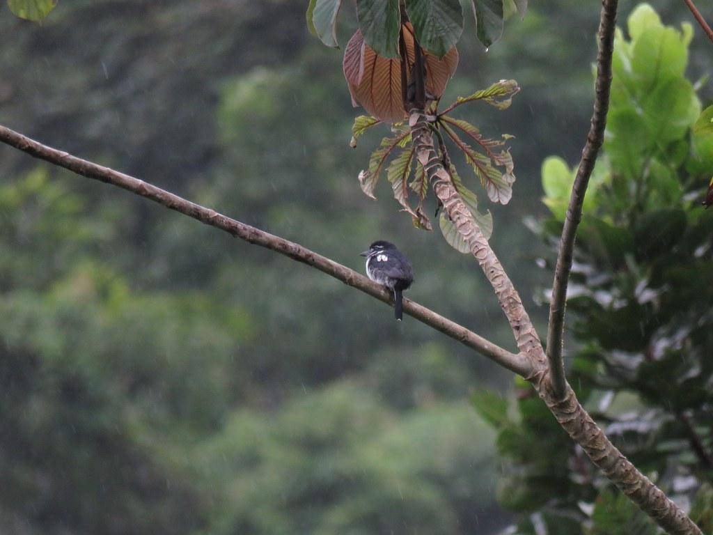 Panama 2019 Darién - Pied Puffbird, sepellaiskuri