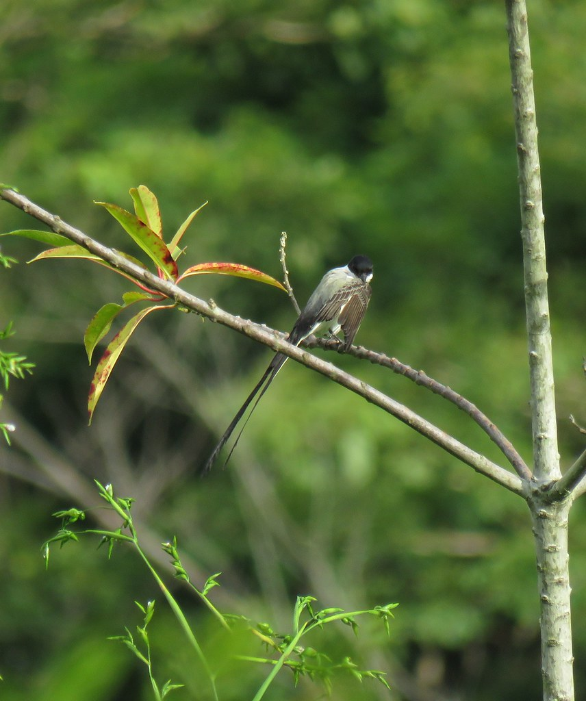 Panama 2019 Darién - Fork-tailed Flycatcher, laahustyranni