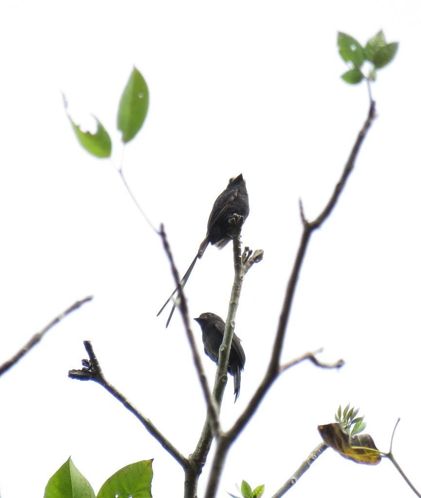 Panama 2019 Darién - Long-tailed Tyrant, nauhapyrstötyranni