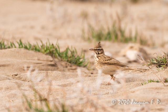Cogujada común - Galerida cristata
