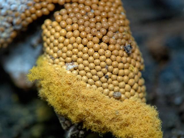 myxomycètes - slime mold  Trichia favoginea