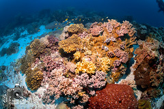 """Japanese Gardens"" - Coral Reef in Sawabi Islands - Djibouti"