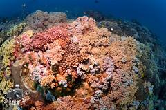 """Japanese Gardens"" - Coral Reef in Sawabi Islands - Djibouti"