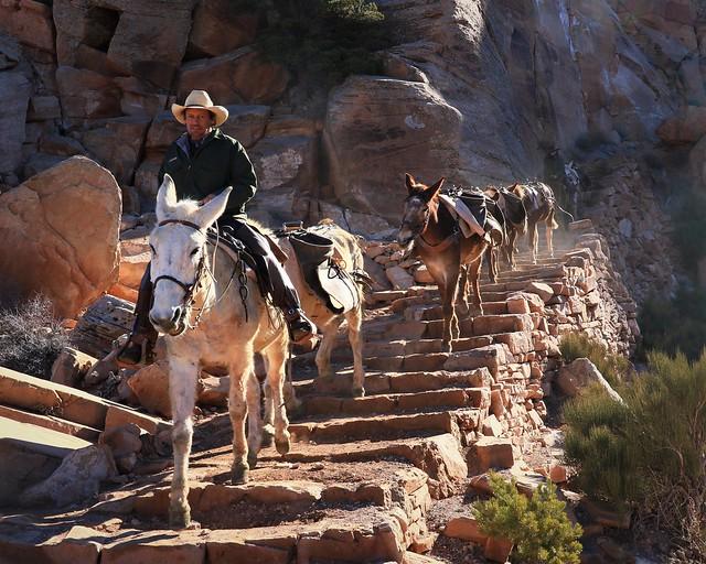 Mule Train 7D2_5454