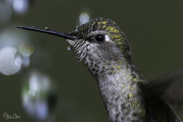 Anna's Hummingbird Close-up