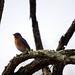 Eastern_Bluebird_06