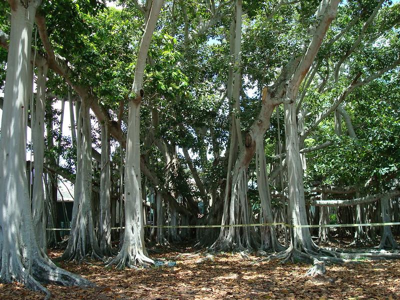 Banyan Tree, Ft Myers, FL