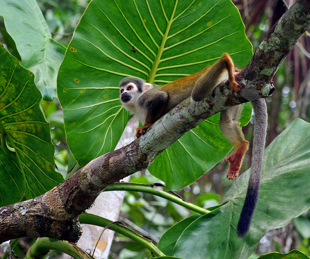 Squirrel Monkey (Saimiri sciureus) at Sacha Lodge by Río Napo, Ecuador.