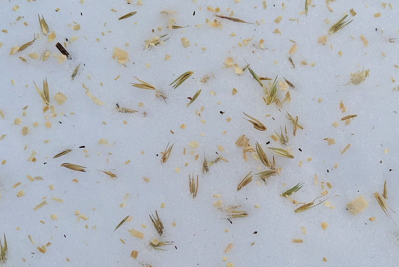 Scattered seeds mixed with sawdust shavings on top of snow.