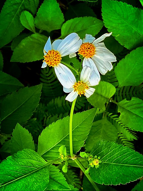 White Flower with it's Greenery