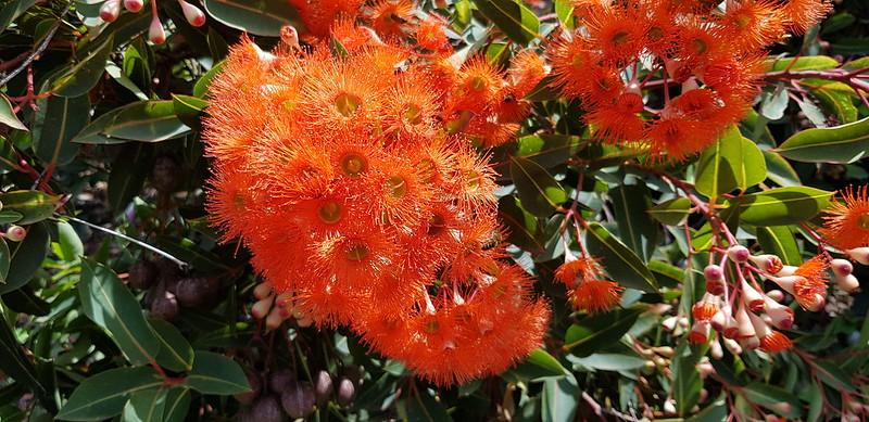 Eucalptus ficifolia