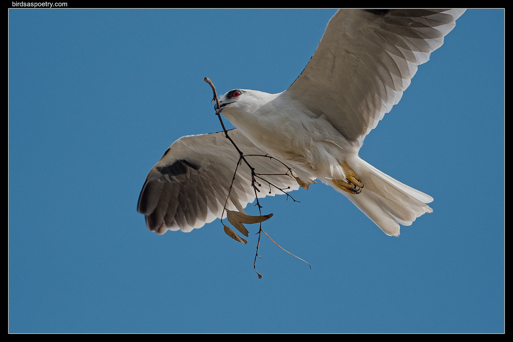 Black-shouldered Kite: Running Repairs
