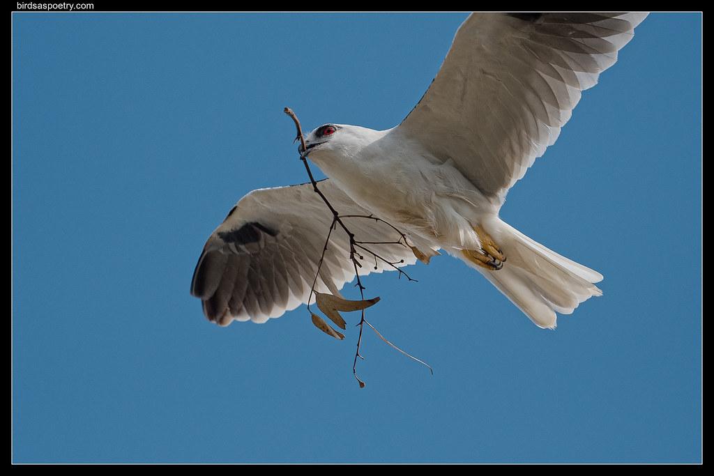 Black-shouldered Kite: Running Repairs