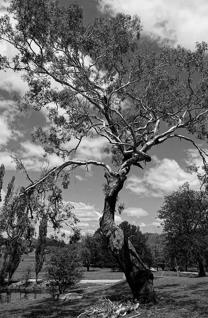 Gum tree.