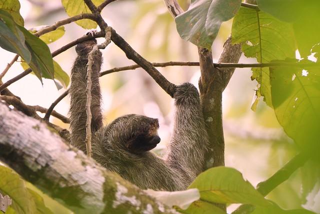 Three-toed sloth DSC_8127