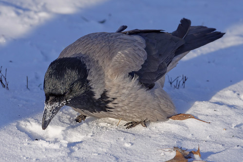 Серая ворона, Corvus cornix cornix, Hooded Crow | by Oleg Nomad