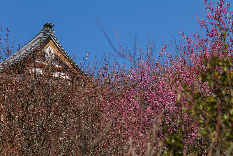 When the plum blossoms bloom