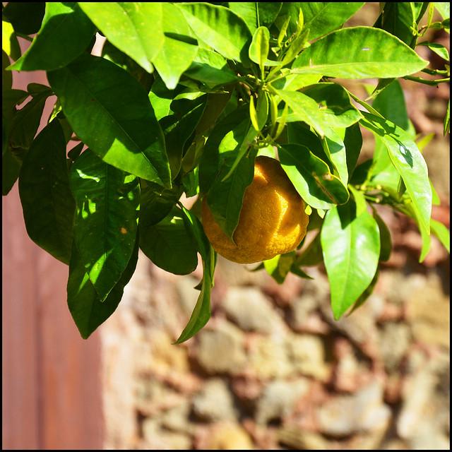 Knowest thou where the lemon blossom grows?