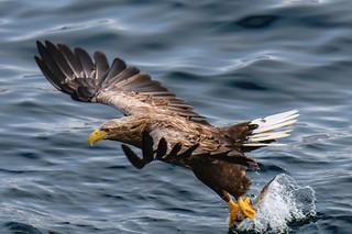 白尾海鵰 white tail eagle D85_4888-Edit