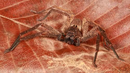 Huntsman Spider (Sparassidae)
