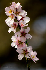 blossoms 8935