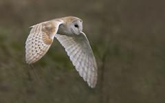 Barn Owl 1