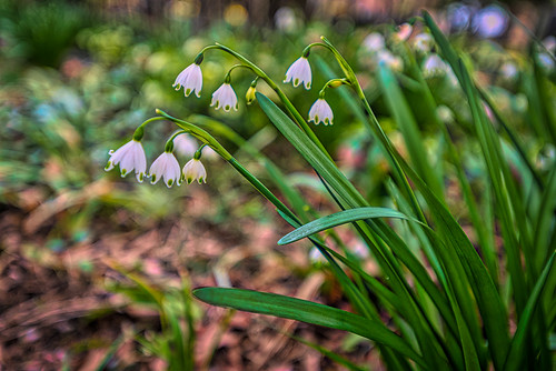 oaklandcemetery atlanta georgia ga usa flowers spring blooms landscape macro
