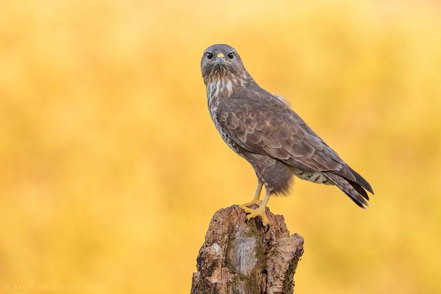 eyes to eyes | Common buzzard