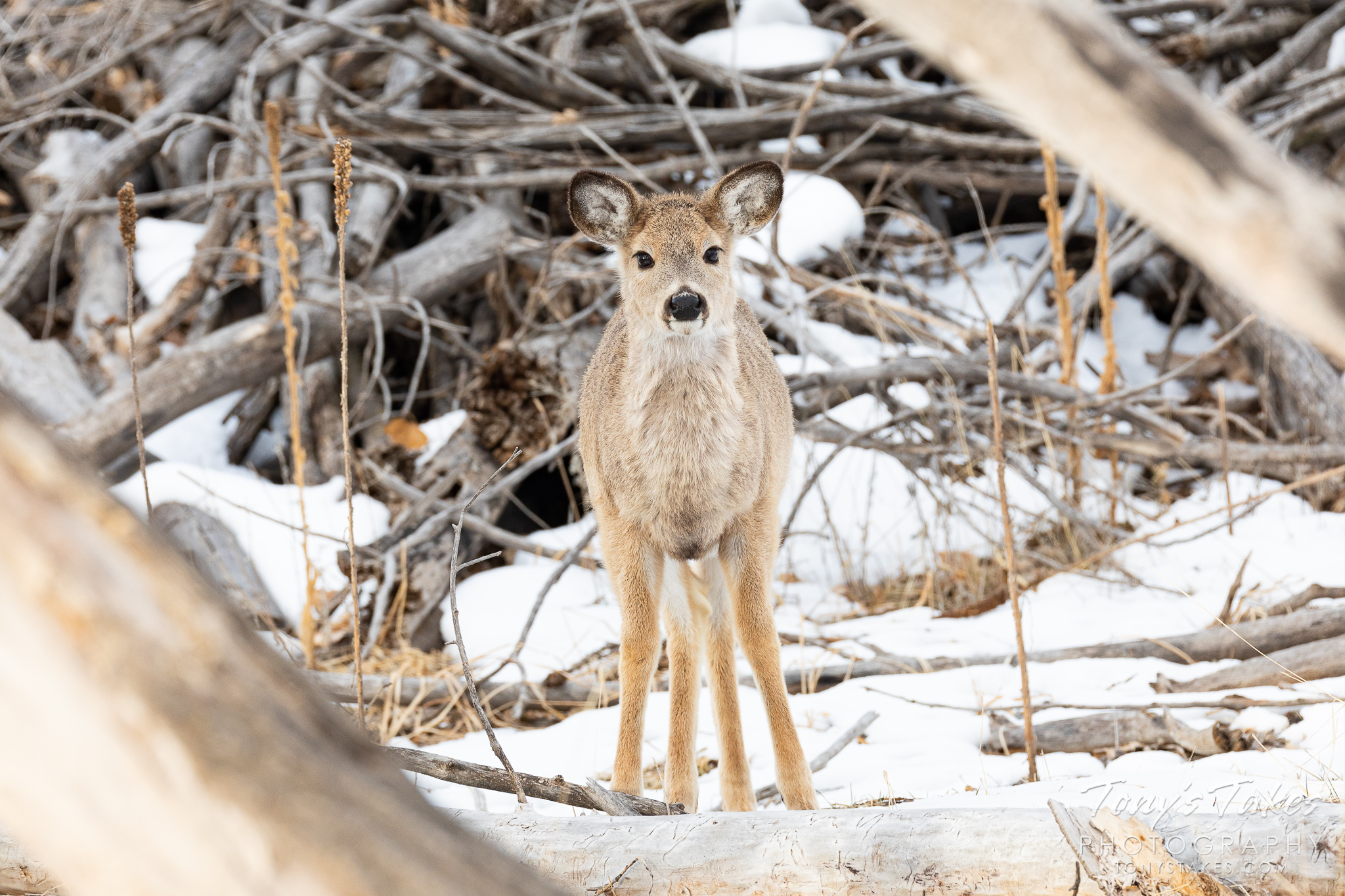 An absolutely precious young white-tailed deer in the forest. (© Tony's Takes)