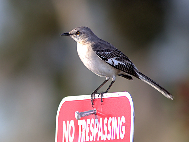 Northern Mockingbird 20200224