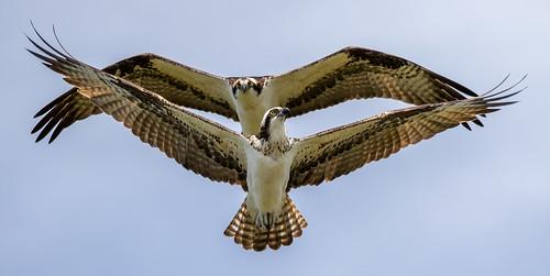 sea sky outdoor shore dennis adair bird nature canon florida wildlife flight beak ii raptor 7d bif ef100400mm 7dm2 prey