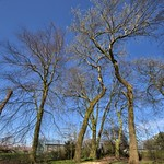 Bare trees in Moor Park, Preston