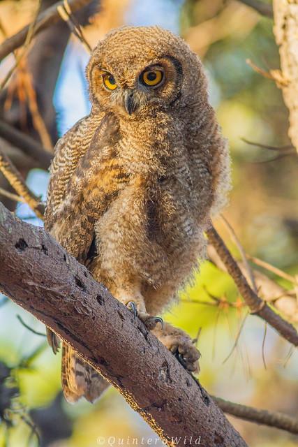 Baby magellanic horned owl