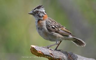 - CHINGOLO...(Zonotrichia capensis .Rufous-collared Sparrow) toma en reserva ecologica costanera Sur RECS.! ARGENTINA BUENOS AIRES..